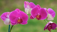 King's Orchids
